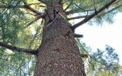 Mini MM – White Pine (Pinus strobus)