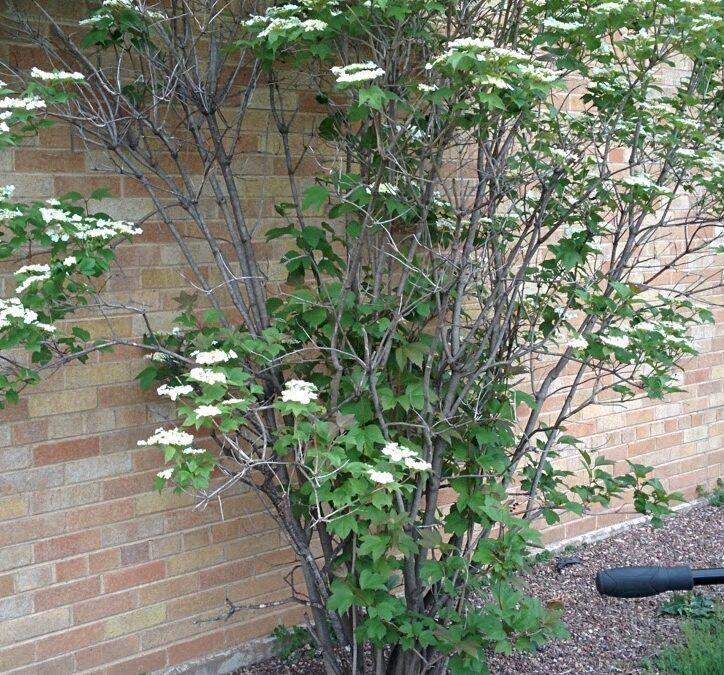 Mini MM – Crampbark (Viburnum opulus L. var. americanum)