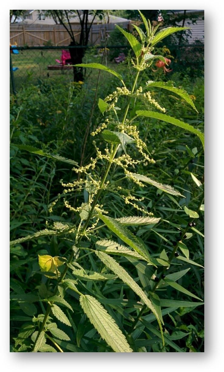 Picture1_nettle