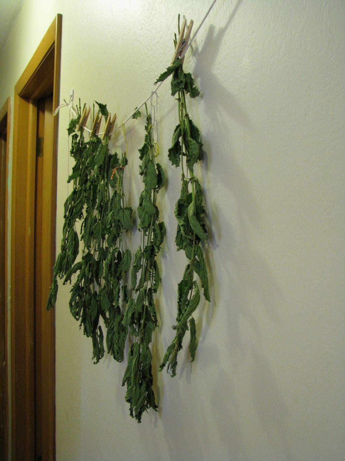 nettle plants hanging to dry