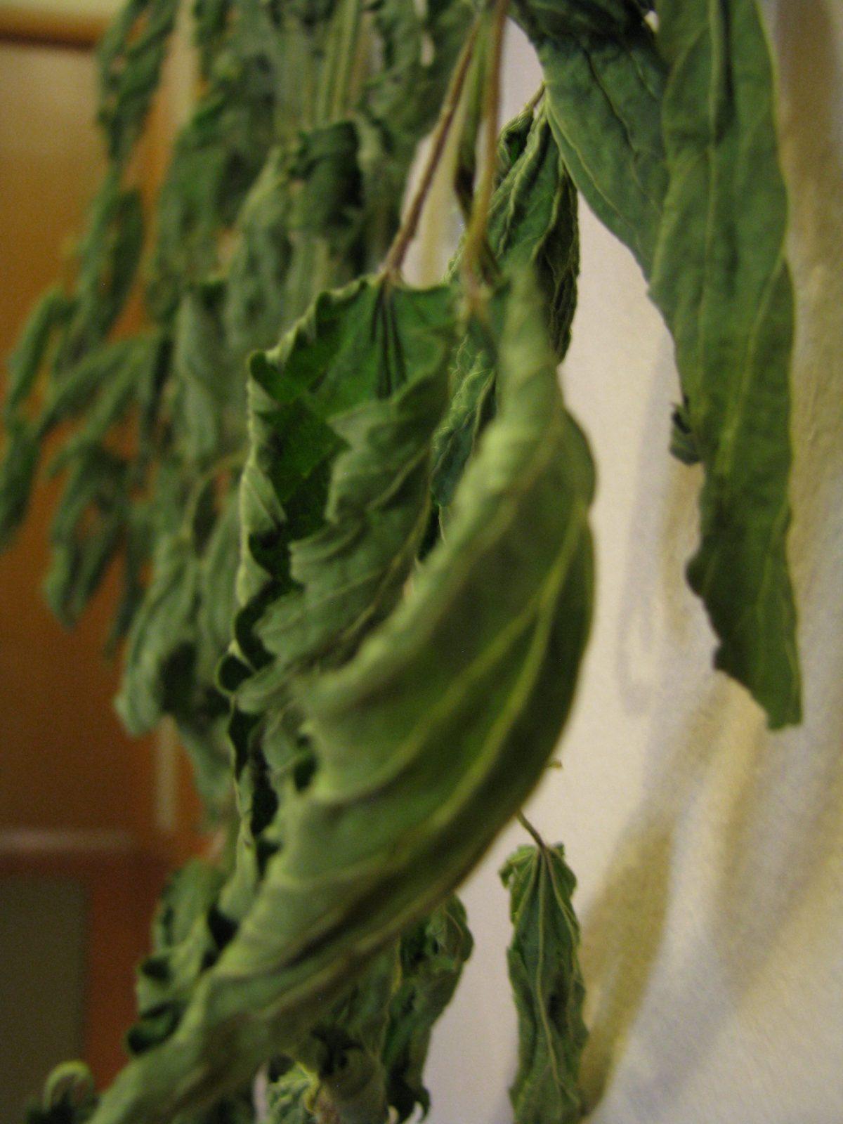 drying nettle leaf
