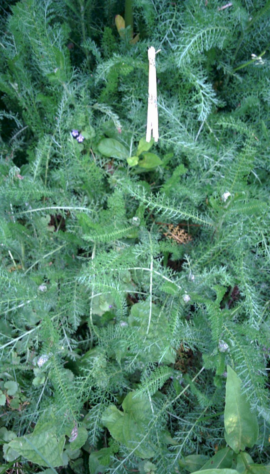 yarrow leaves with flower buds