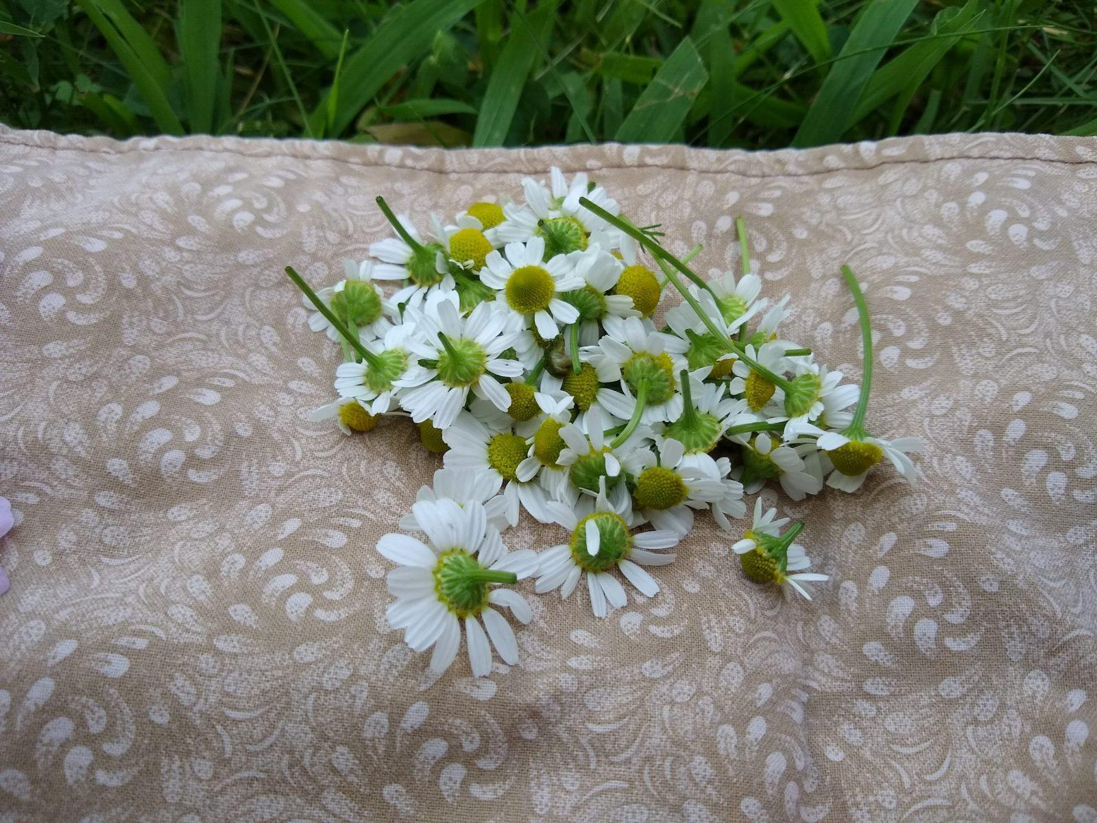 pile of freshly picked chamomile flowers