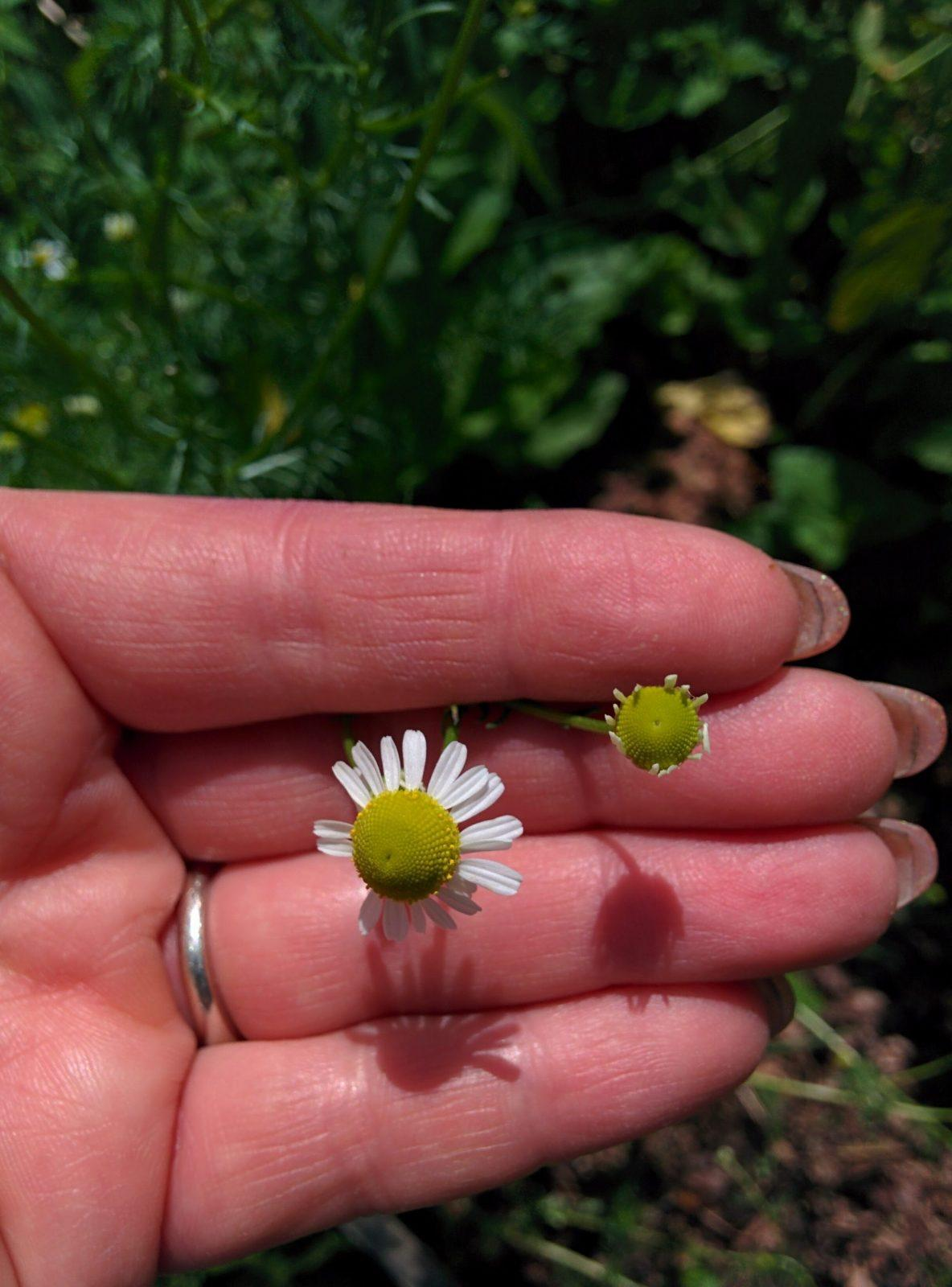 chamomile flowers, one with petals open and the other is a new flower