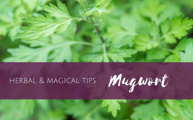 Mugwort - herbal and magical tips