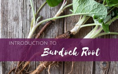 Episode 15: Introduction to Burdock Root for Herbal Remedies