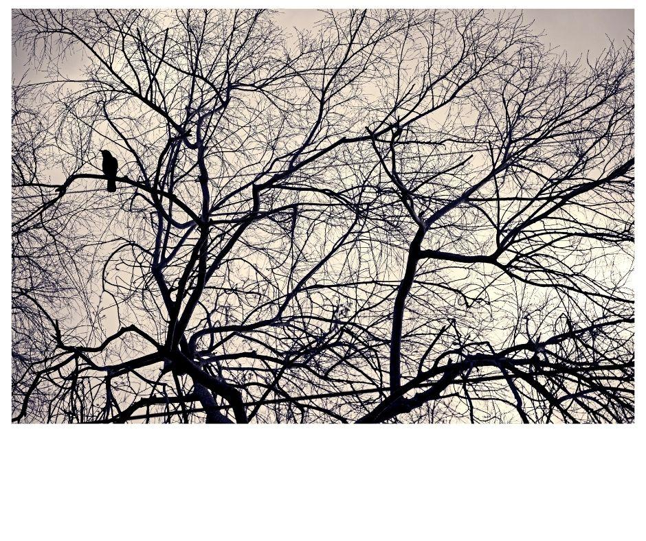 crow in a winter tree