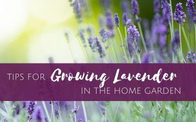 Episode 17:  Tips for Growing Lavender in the Home Garden
