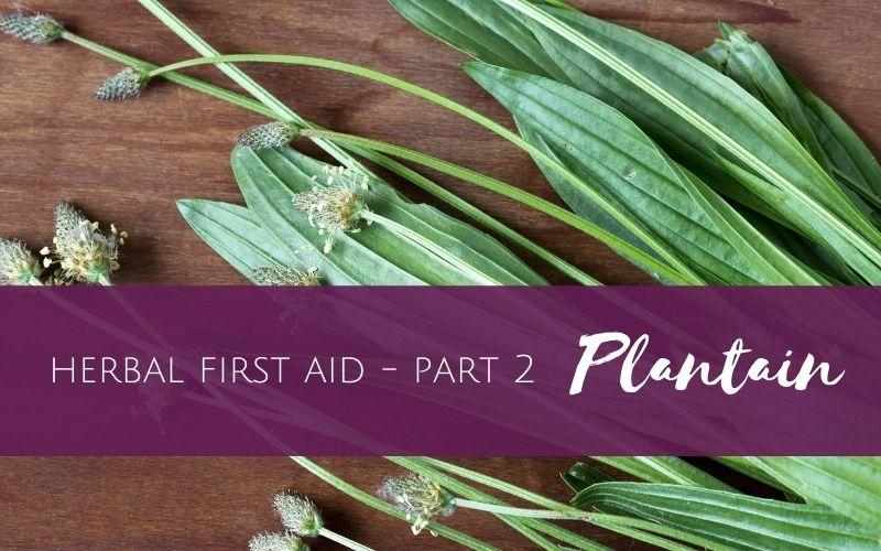 plantain used for herbal first aid