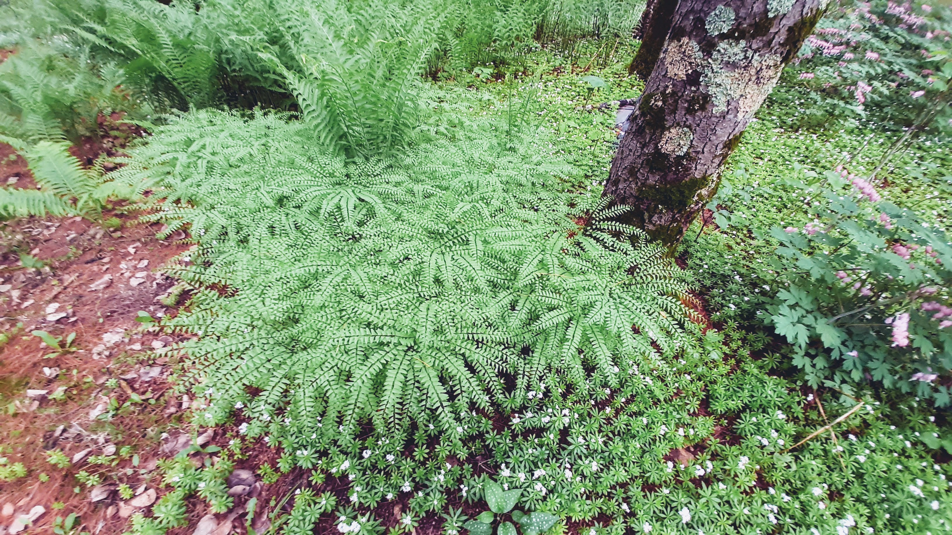 woodland garden maiden hair ferns