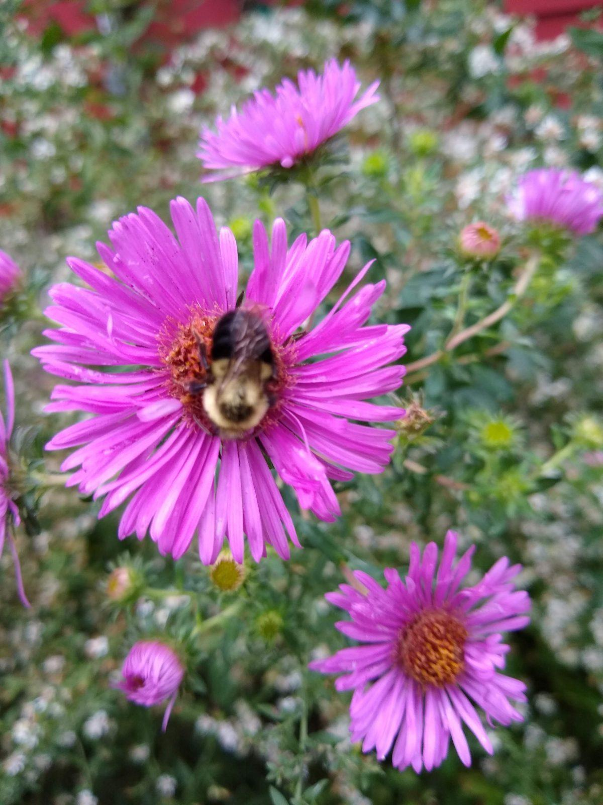 purple flower of an aster with a bee in the middle