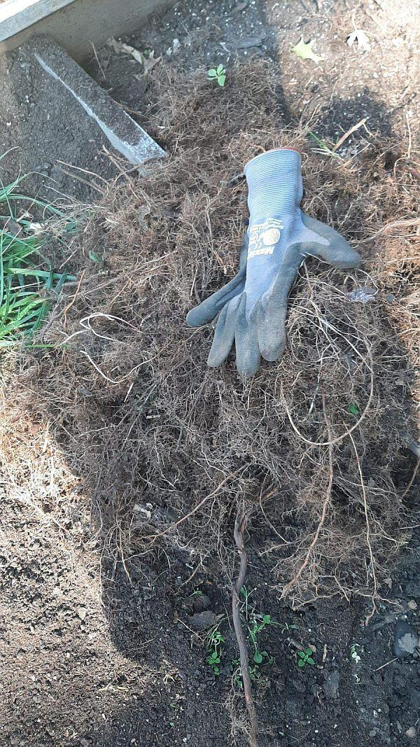 tangle of roots